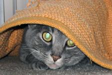 Cat peering from under rug